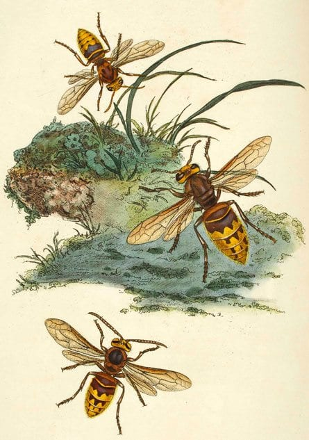 Donovan, Edward: The natural history of British insects London, 1813 Dargestellt sind Hornissen.