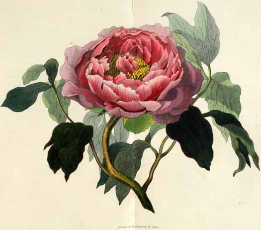 Morris, Richard: Flora conspicua London, 1826 Pfingstrose