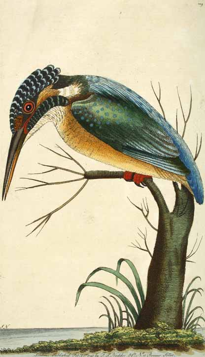 Shaw, George: Vivarium Naturae London, 1790-1793 Der Eisvogel